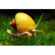 Pomacea diffusa (Ampulária amarela) 3 unidades
