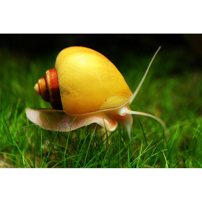 Pomacea diffusa (Ampulária amarela) 20 unidades
