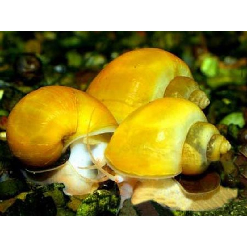 Pomacea diffusa (Ampulária amarela) 8 unidades