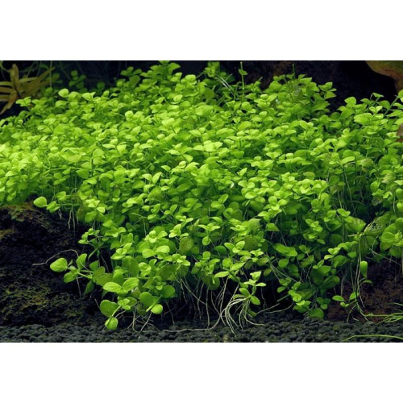Micranthemum umbrosum 20 maços