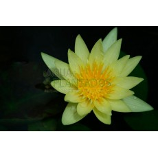 Nymphaea mexicana (Yellow waterlily)