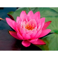 Nymphaea 'Queen of Siam'