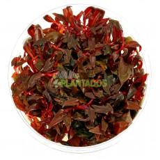Alternanthera reineckii 'Lilacina' 20 maços