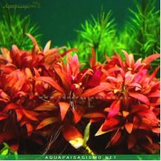 Alternanthera reineckii 'Lilacina'