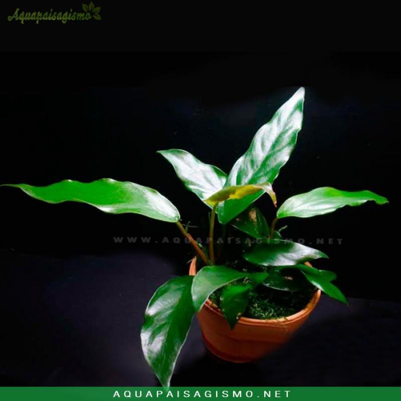 Anubias sp. 'Gabon'