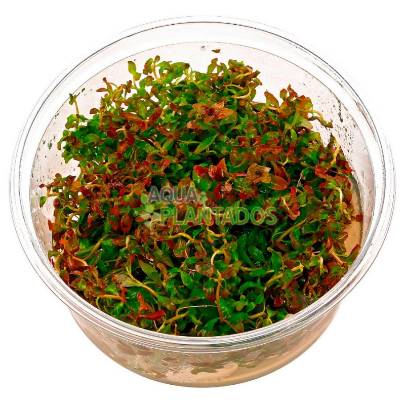 Bacopa sp. 'Red' 20 maços