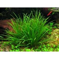 Blyxa japonica (Indisponível)