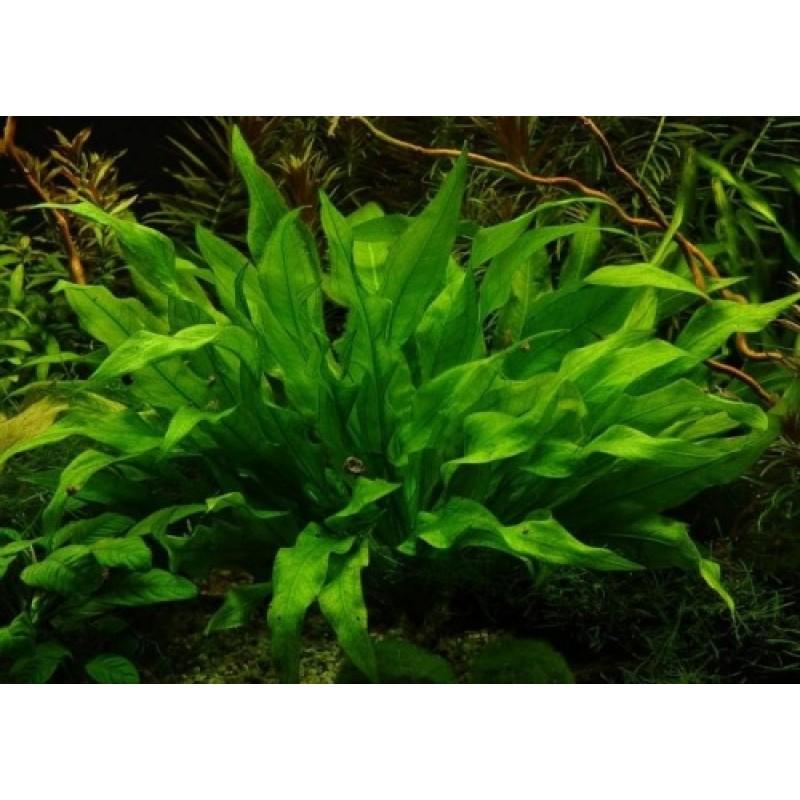 Echinodorus amazonicus (Amazonense)