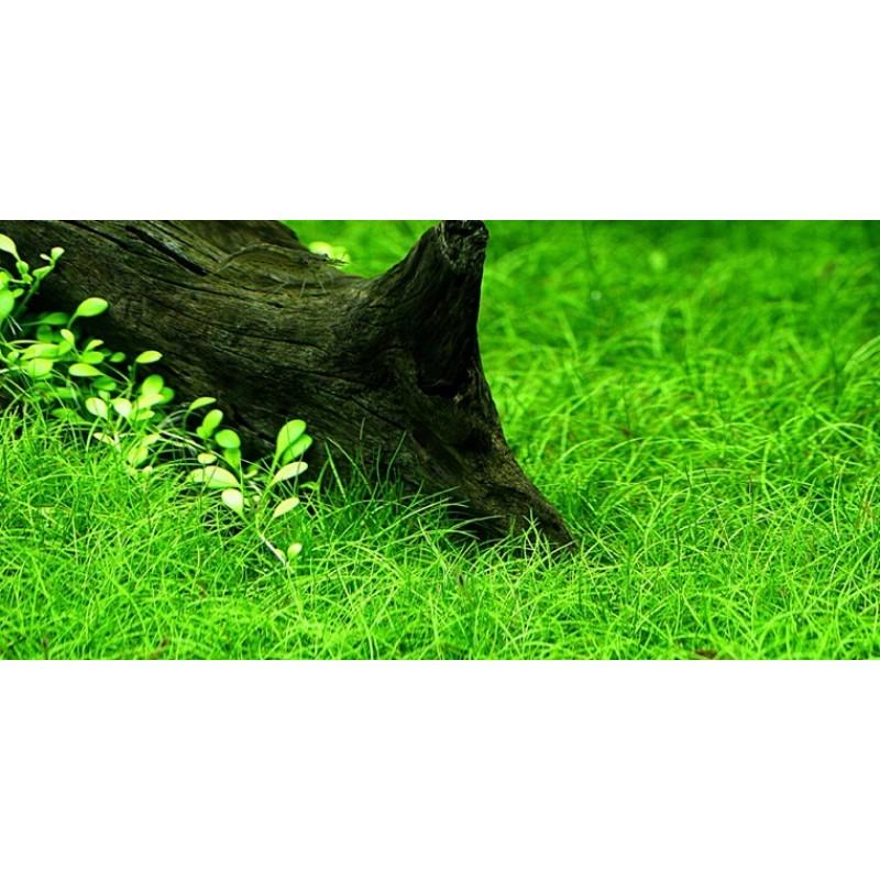 Eleocharis parvula 20 maços