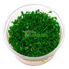 Glossostigma elatinoides 20 maços