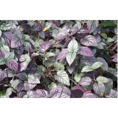 Hemigraphis colorata