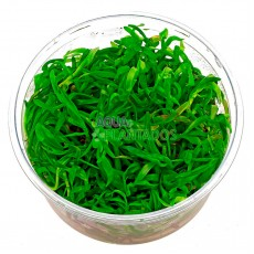 Heteranthera zosterifolia 20 maços