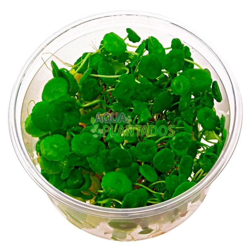 Hydrocotyle verticillata 20 maços