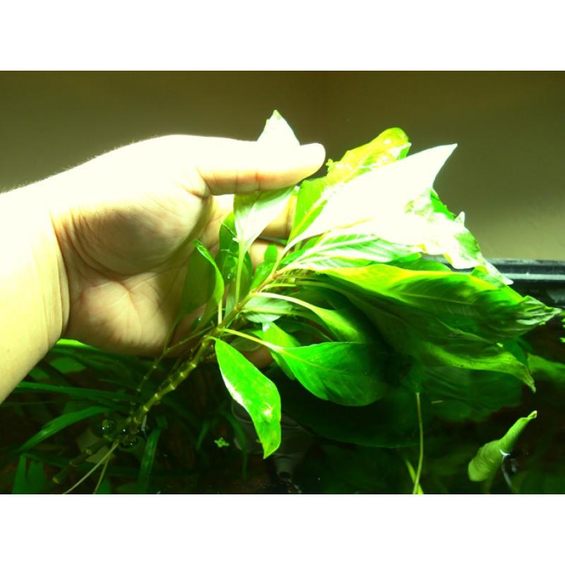 Hygrophila giant (Nomaphila stricta) 20 maços