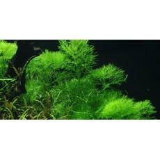 Limnophila aquatica