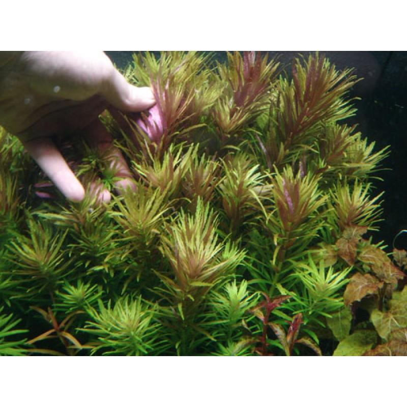Limnophila aromatica 20 maços