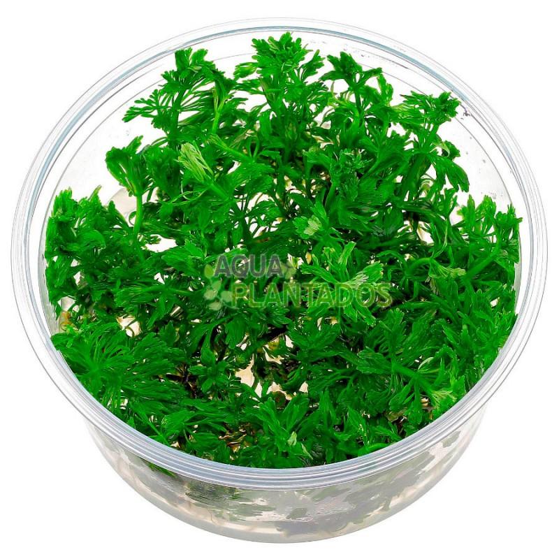Limnophila sessiliflora 20 maços