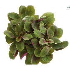 Lobelia cardinalis 'Small Form'
