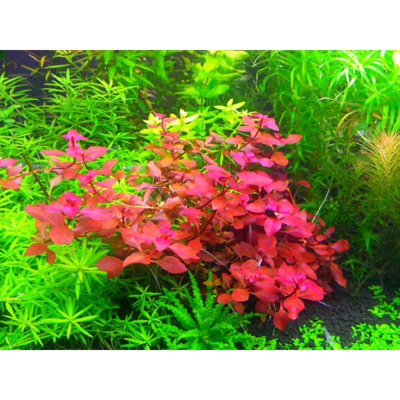 Ludwigia sp. 'Red'