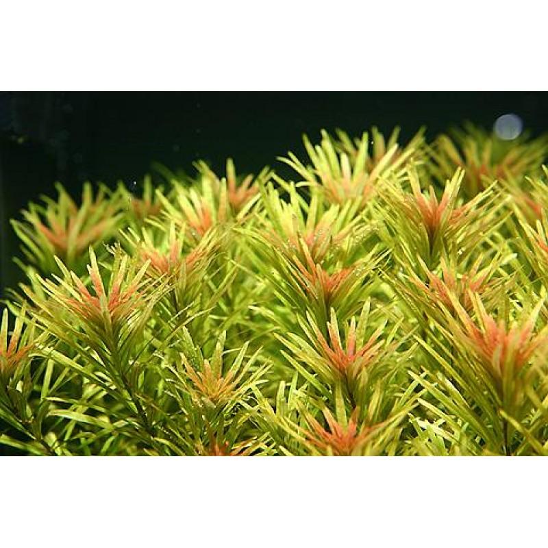 Ludwigia inclinata var. verticillata 'Cuba' 20 maços