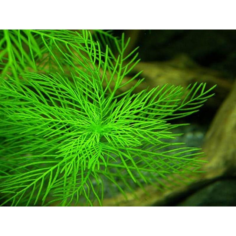 Myriophyllum brasiliense 20 maços