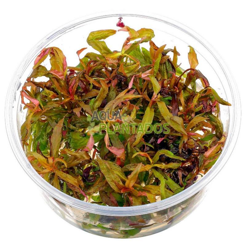 Pogostemon stellatus 'Broad Leaf' 20 maços