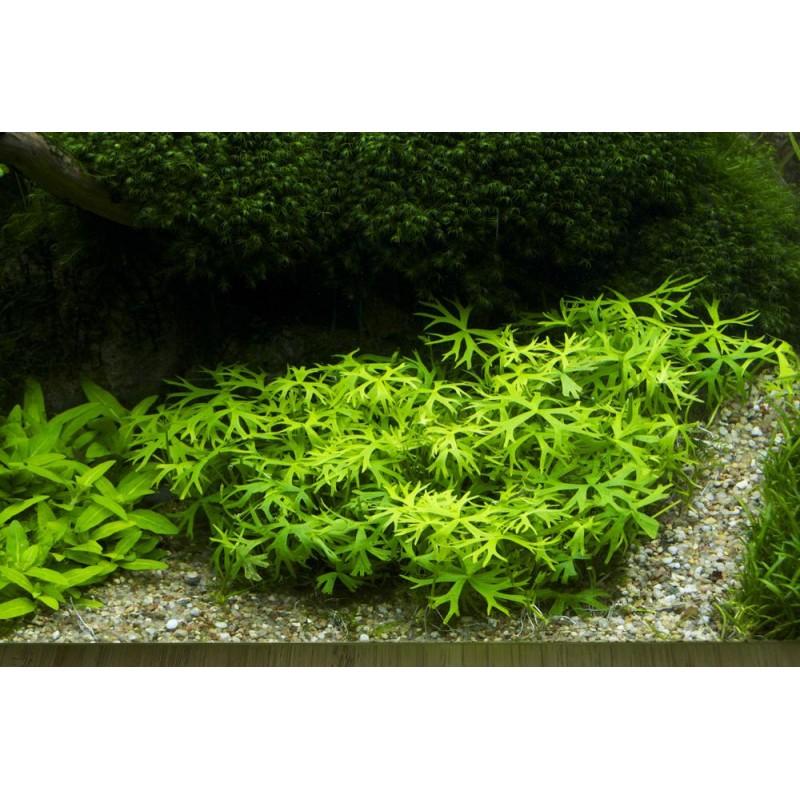 Ranunculus papulentus 20 maços