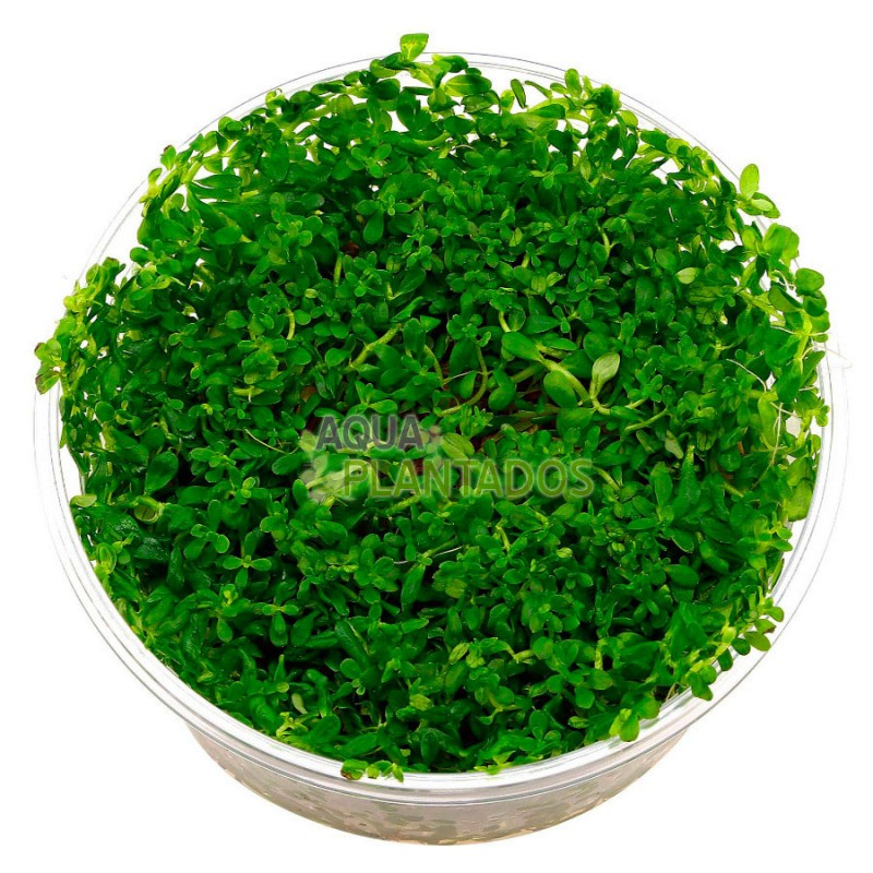 Rotala sp. 'Green' 20 maços