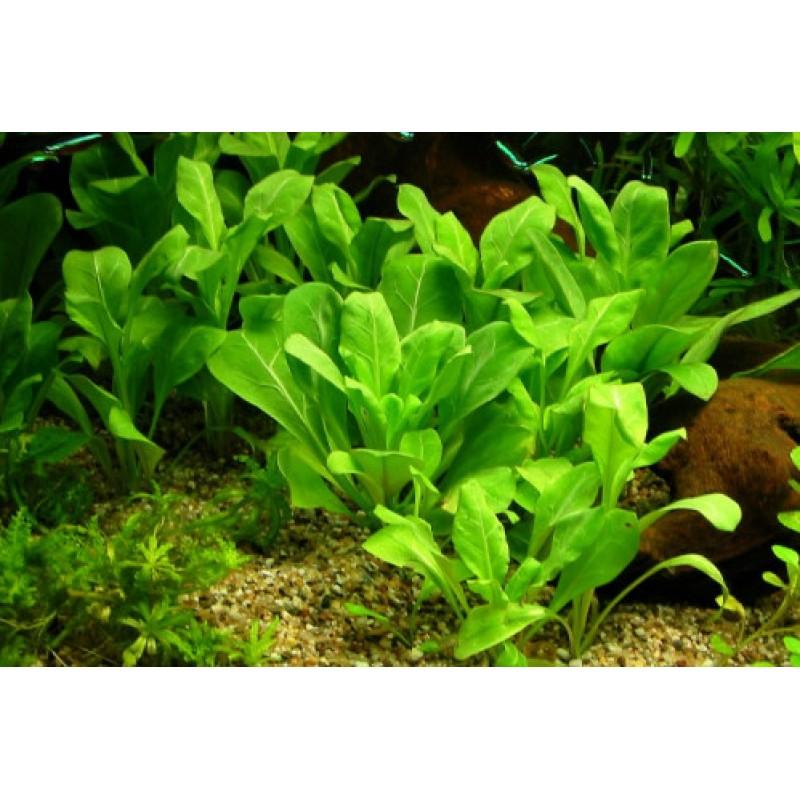 Samolus parviflorus (Alface d'água)