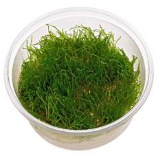 Taxiphyllum barbieri 'Musgo de Java' 20 porções