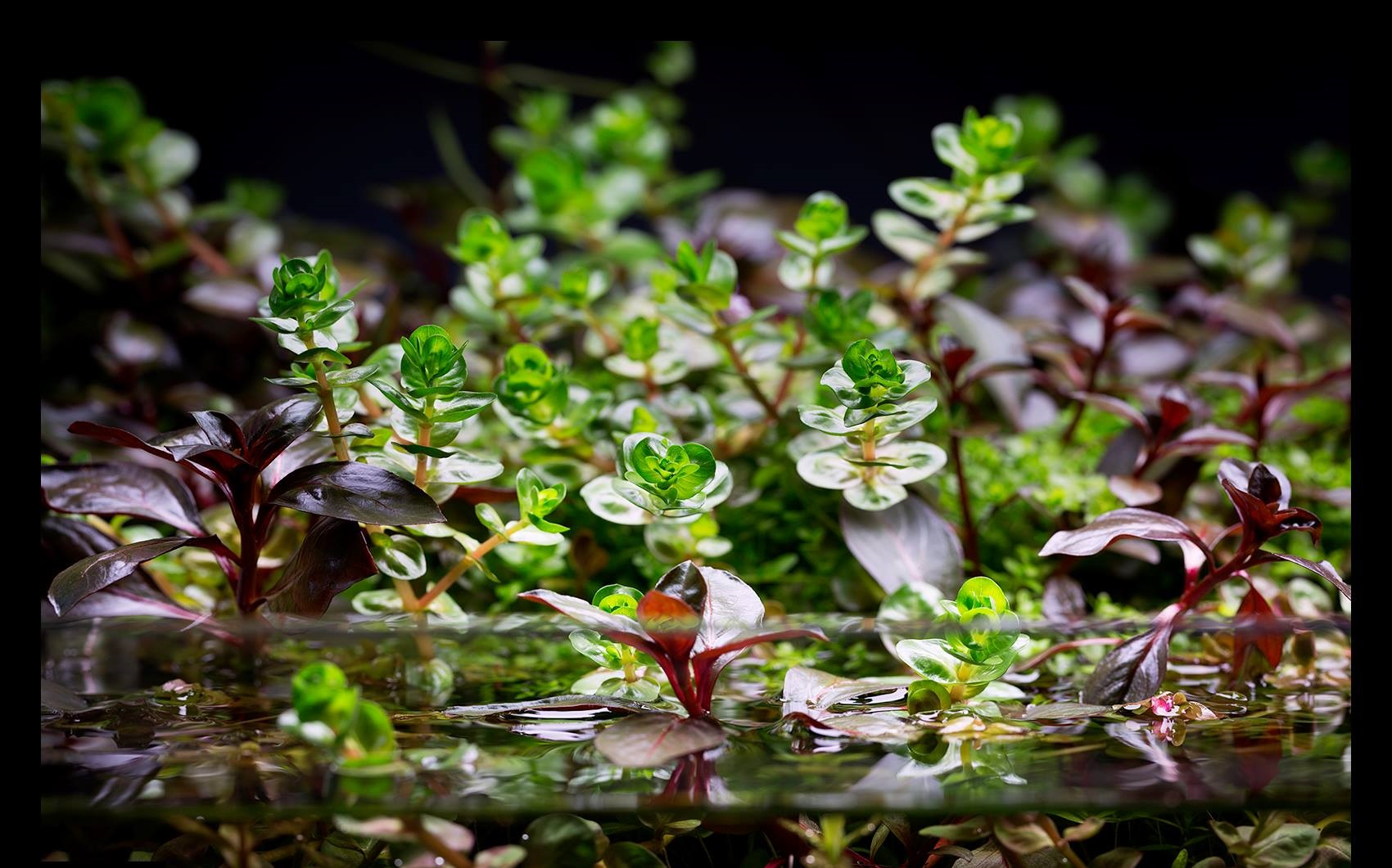 Planta de aquario emersa x imersa